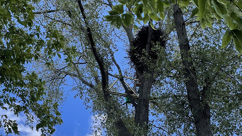 September 21, 2021: A look from the ground! This nest is very tall - about 7 feet - and very oval.