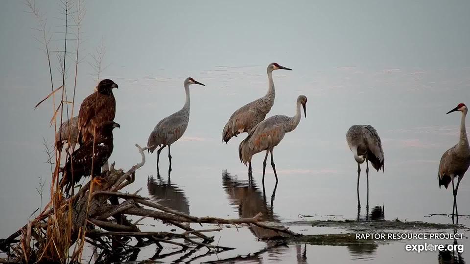 October 2, 2021: Eagles and sandhill cranes.