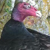 September 11, 2021: A turkey vulture at Great Spirit Bluff.