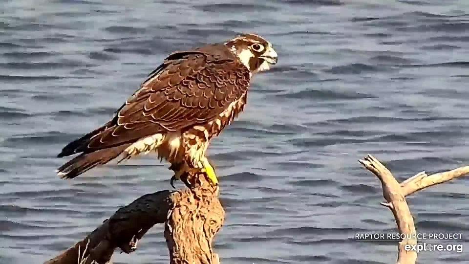 October 10, 2021: A banded juvenile falcon at the Flyway.