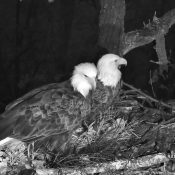 October 11, 2021: DNF (left) and Mr. North (right) at the North nest.
